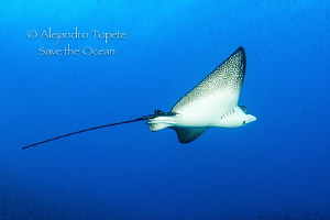 Eagle Ray flying, Galapagos Mexico by Alejandro Topete 